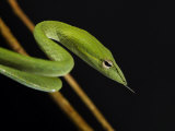 Long Nosed Oriental Whip Snake Bako National Park, Sarawak, Borneo Posters by Tony Heald
