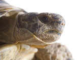Greek Spur Thighed Tortoise Head Portrait, Spain Posters by Niall Benvie