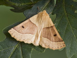 Scalloped Oak Moth on Oak Leaves, Hertfodshire, England, UK Photographic Print by Andy Sands