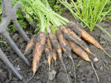Freshly Dug Home Grown Organic Carrots 'Early Nantes', Norfolk, UK Photographic Print by Gary Smith