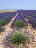Row of Cultivated Lavender in Field in Provence, France. June 2008 Photographic Print by Philippe Clement