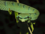 Temple Wagler's Pit Viper Bako National Park, Sarawak, Borneo Photographic Print by Tony Heald