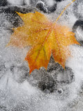 Field Maple Leaf Frozen in Ice, Cornwall, Uk. October Photo by Ross Hoddinott