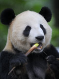 Giant Panda Feeding on Bamboo at Bifengxia Giant Panda Breeding and Conservation Center, China Photographic Print by Eric Baccega