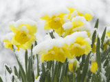 Daffodils Flowers Covered in Snow, Norfolk, UK Posters by Gary Smith