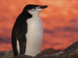 Chinstrap Penguin at Sunset, Antarctica Photographic Print by Edwin Giesbers