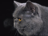 Exotic Grey Cat, Portrait Photographic Print by Adriano Bacchella