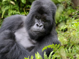 Male Silverback Mountain Gorilla Resting, Volcanoes National Park, Rwanda, Africa Photographic Print by Eric Baccega