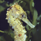 Spotted Seahorse Light Colour Phase, Head Portrait, from Indo-Pacific Lámina fotográfica por Jane Burton
