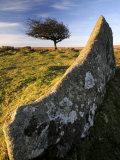Windswept Tree with Rock in Foreground, Combestone Tor, Dartmoor, Devon, UK Posters by Ross Hoddinott