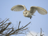Barn Owl Hunting Along Roadside Hedge, Norfolk, UK Photographic Print by Gary Smith