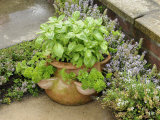 Herb Garden with Terracotta Pot with Sweet Basil, Curled Parsley and Creeping Thyme, Norfolk, UK Photographic Print by Gary Smith