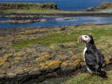 Puffin with Beak Full of Sand Eels, Isle of Lunga, Treshnish Isles, Inner Hebrides, Scotland, UK Photographic Print by Andy Sands