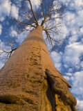 Looking Up at Baobab on Baobabs Avenue, Morondava, West Madagascar Photo by Inaki Relanzon