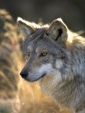 Mexican Wolf Captive, Living Desert Zoo, Palm Desert, California, USA Posters by Mark Carwardine