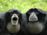 Two Siamang Gibbons Calling, Vocal Pouches Inflated, Endangered, from Se Asia Posters by Eric Baccega