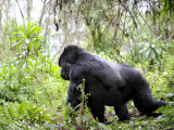 Male Silverback Mountain Gorilla Knuckle Walking, Volcanoes National Park, Rwanda, Africa Photographic Print by Eric Baccega