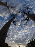 Looking Up at Baobabs on Baobabs Avenue, Morondava, West Madagascar Posters by Inaki Relanzon