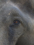 Indian Elephant Close Up of Eye, Controlled Conditions, Bandhavgarh Np, Madhya Pradesh, India Photographic Print by T.j. Rich