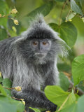 Silvered Langur in Tree, Bako National Park, Sarawak, Borneo Posters by Tony Heald
