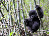 Young Mountain Gorilla Climbing on Bamboo, Volcanoes National Park, Rwanda, Africa Photographic Print by Eric Baccega