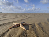 Common Starfish Washed Up on Beach, Norfolk, UK, November 2008 Posters by Gary Smith