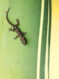 Gecko on Plant, Madagascar Photographic Print by Edwin Giesbers