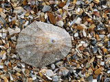 Rayed Mediterranean Limpet Shell on Beach, Mediterranean, France Photographic Print by Philippe Clement