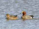 Wigeon Male and Female on Water, Norfolk, UK Posters by Gary Smith