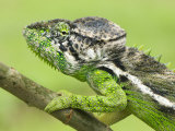 Oustalet's Chameleon Portrait, Madagascar Photographic Print by Edwin Giesbers