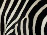 Common Zebra Close-Up Showing Stripes, Tanzania Photographic Print by Edwin Giesbers
