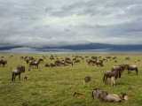 Wildebeest Herd with Calves, Ngorongoro Crater, Tanzania Photographic Print by Edwin Giesbers