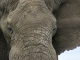 African Elephant Close-Up of Face, Tanzania Photographic Print by Edwin Giesbers