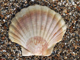 Scallop Shell on Beach, Normandy, France Photographic Print by Philippe Clement