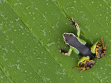 Mantella Frog on Leaf, Madagascar Photographic Print by Edwin Giesbers