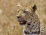 Leopard Portrait, Tanzania Photographic Print by Edwin Giesbers