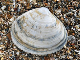 Rayed Trough Shell on Beach, Belgium Photographic Print by Philippe Clement