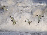 Oystercatchers in Flight over Breaking Surf, Norfolk, UK, December Photographic Print by Gary Smith