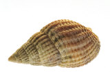 Netted Dog Whelk Shell, Normandy, France Photographic Print by Philippe Clement
