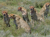 Cheetah Mother with Juveniles with Blooded Faces after Feeding, Tanzania Photographic Print by Edwin Giesbers
