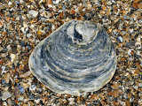 Common Oyster Shell on Beach, Normandy, France Photographic Print by Philippe Clement