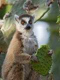 Ring-Tailed Lemur Feeding on Cactus, Berenty Private Reserve, Southern Madagascar Posters by Mark Carwardine