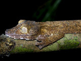Leaf Tailed Gecko Camouflaged on Branch at Night, Nosy Mangabe, North-Eastern Madagascar Posters by Mark Carwardine