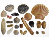 Collection of Shells from the North Sea Photographic Print by Philippe Clement