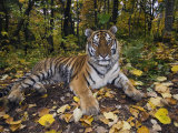 Siberian Amur Tiger, Male Rescued from Poachers, Eutyos Wildlife Rehabilitation Centre, Kutuzovka Posters by Mark Carwardine