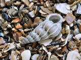 Common Wentletrap Shell on Beach, Belgium Posters by Philippe Clement