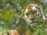 Siberian Tiger in Vegetation Photographic Print by Edwin Giesbers
