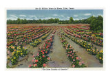 Tyler, Texas - Rose Garden of America, View of a Blooming Rose Field, c.1948 Posters by  Lantern Press
