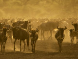 Wildebeest Herd, Tanzania Photographic Print by Edwin Giesbers