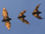 Madagascar Fruit Bat Flying Fox Berenty Reserve, Madagascar Fotografisk tryk af Edwin Giesbers